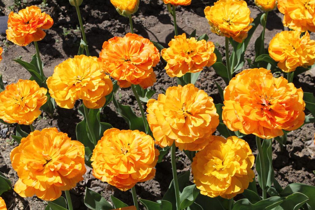 Тюльпан 'Double Beauty of Apeldoorn'