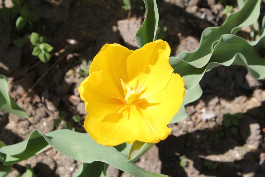 Тюльпан 'Lady Margot'