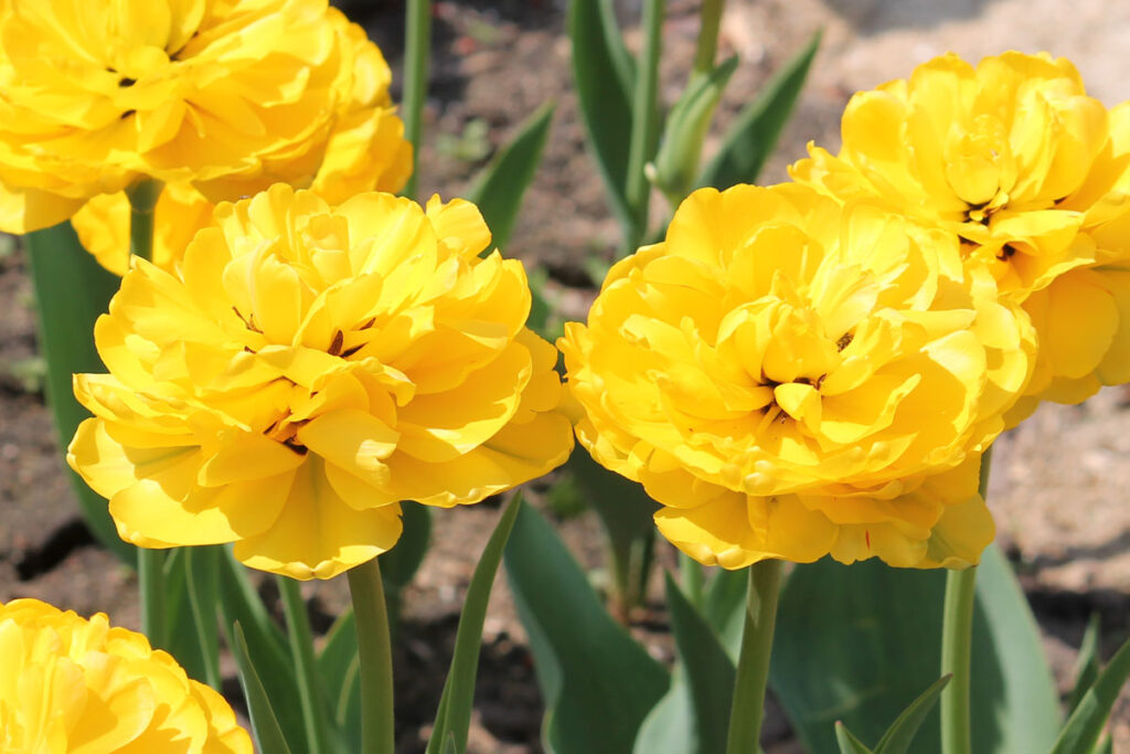 Тюльпан 'Yellow Pompenette' (Елоу Помпонетт)