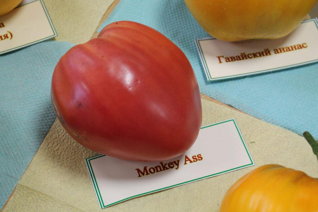 Томат 'Monkey Ass' (Задница обезьяны)