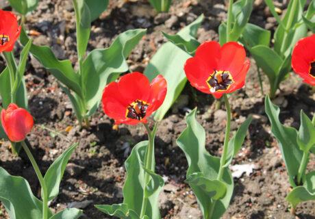 Тюльпан 'Apeldoorn' (Апельдорн)