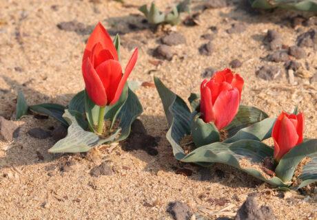 Тюльпан 'Diantha'