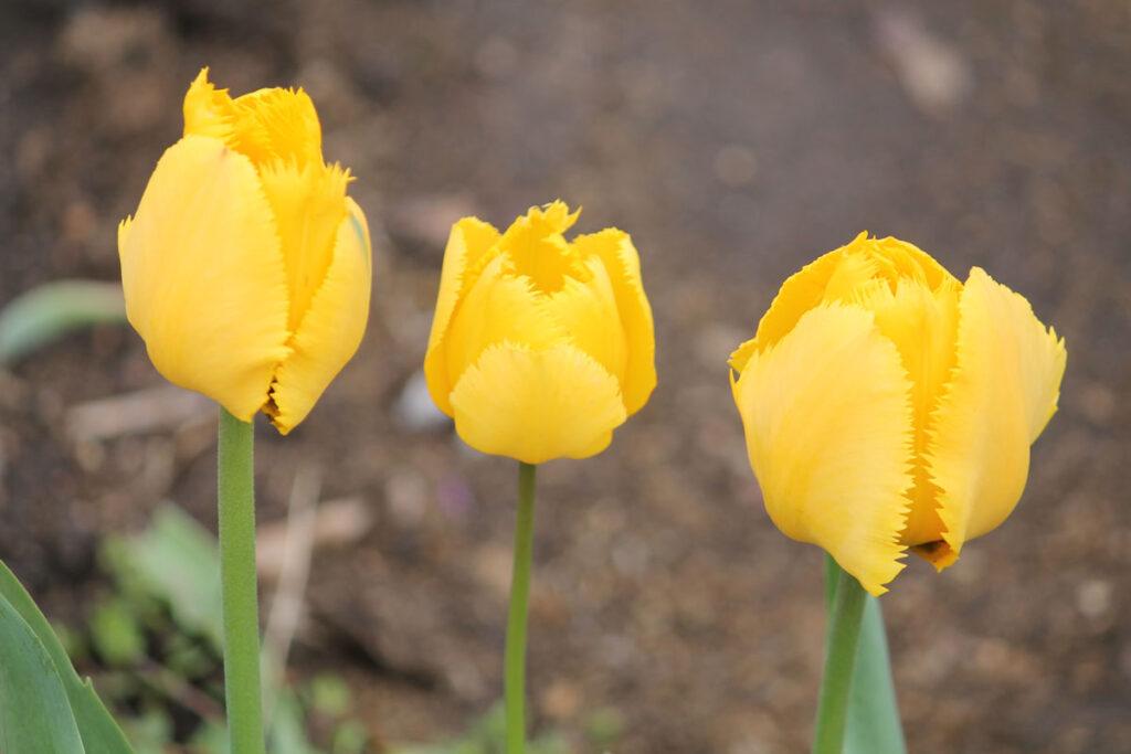 Тюльпан 'Fringed Golden Apeldoorn'