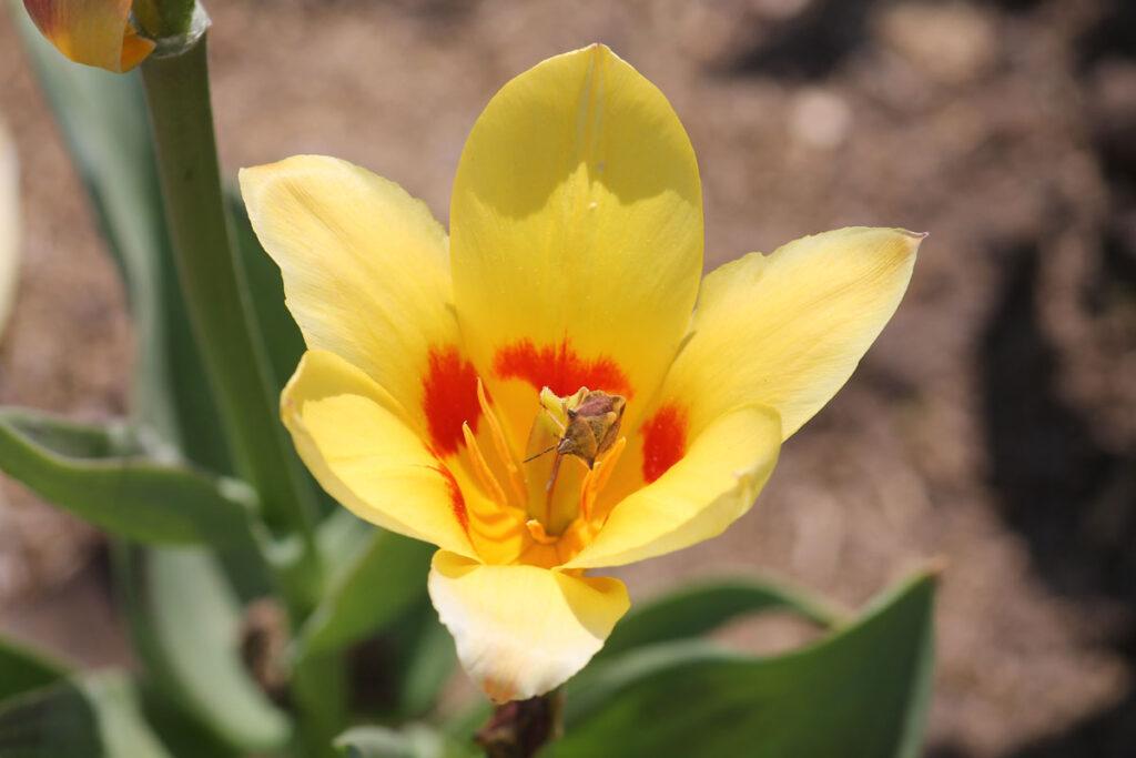 Тюльпан 'Miskodeed'