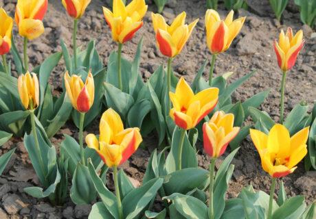 Тюльпан 'Reginald Dixon'