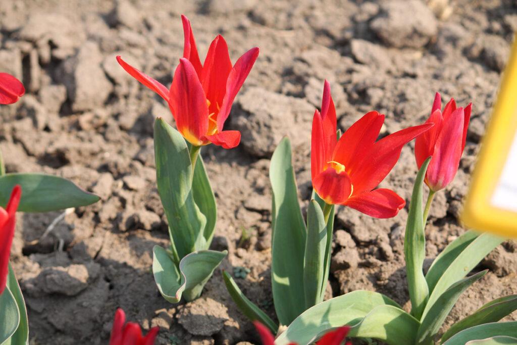 Тюльпан 'Scarlet Baby'