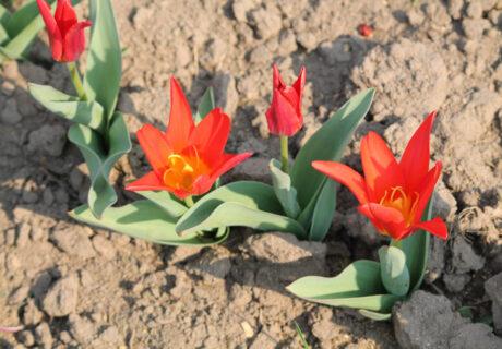 Тюльпан 'Scarlet Elegance'