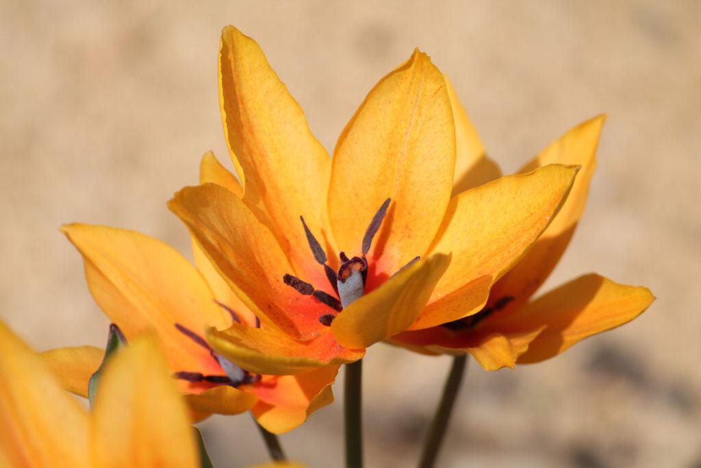 Тюльпан 'Shogun' (Шогун)