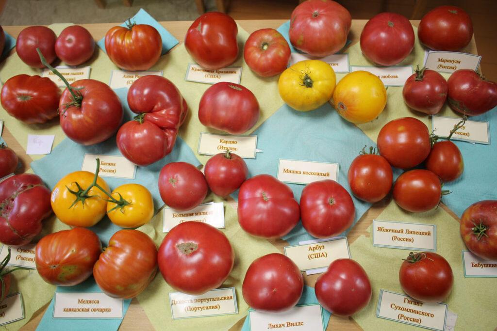 Томат 'Вечная любовь' среди других сортов томатов.