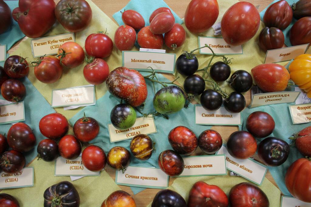 Томат 'Мохнатый Шмель' среди других сортов томатов