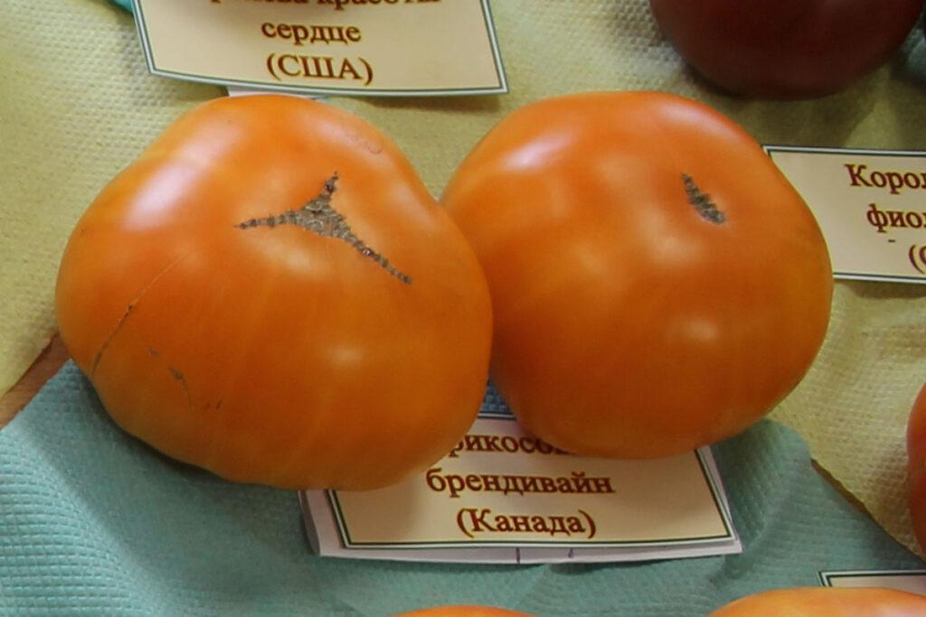 Томат 'Apricot Brandywine' (Брендивайн абрикосовый)