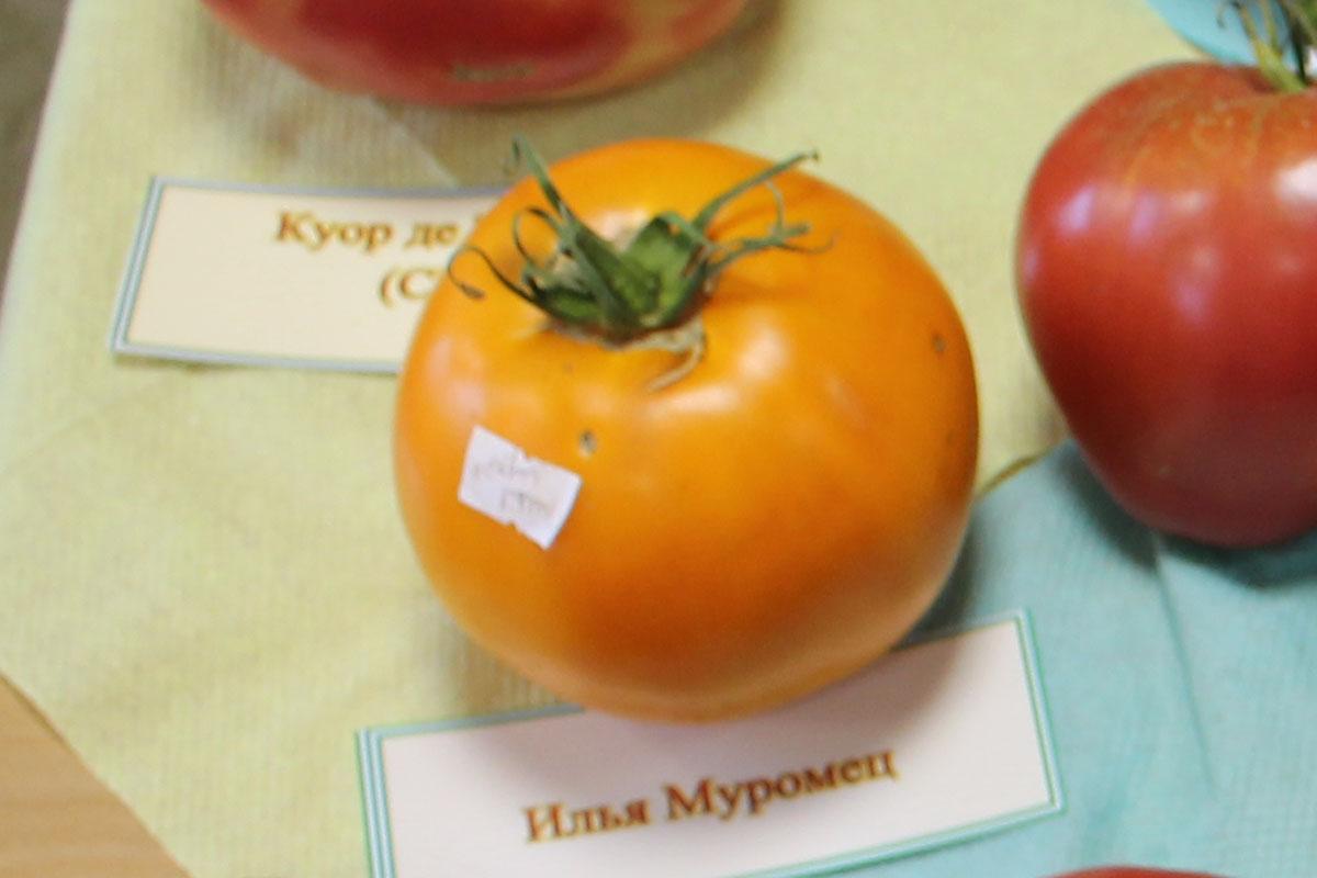 Томат 'Илья Муромец'
