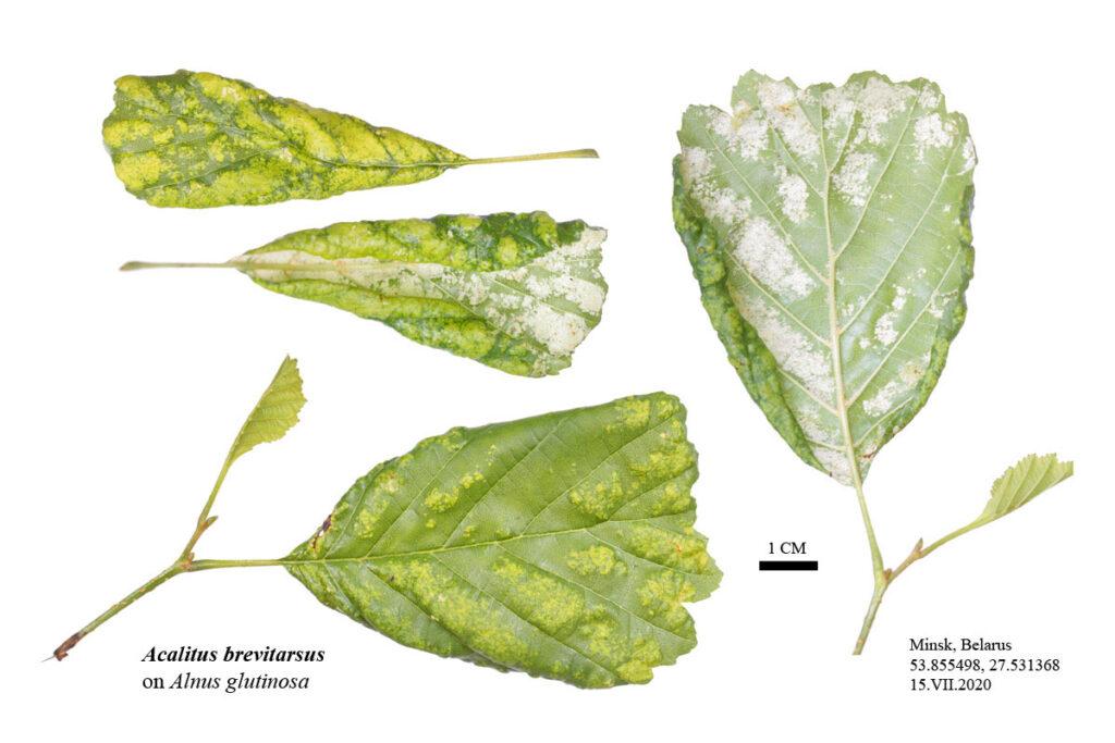 Повреждение листа ольхи чёрной (Alnus glutinosa), вызванное ольховым войлочным клещом (Acalitus brevitarsus)