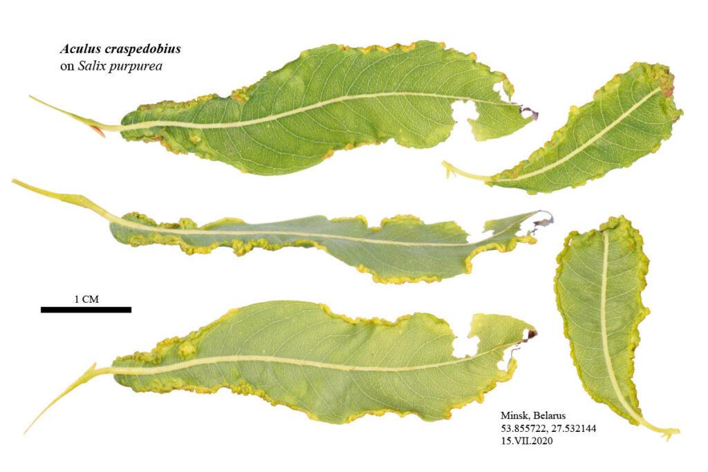 Галлы, сформированные клещом Aculus craspedobius на листьях ивы пурпурной (Salix purpurea)