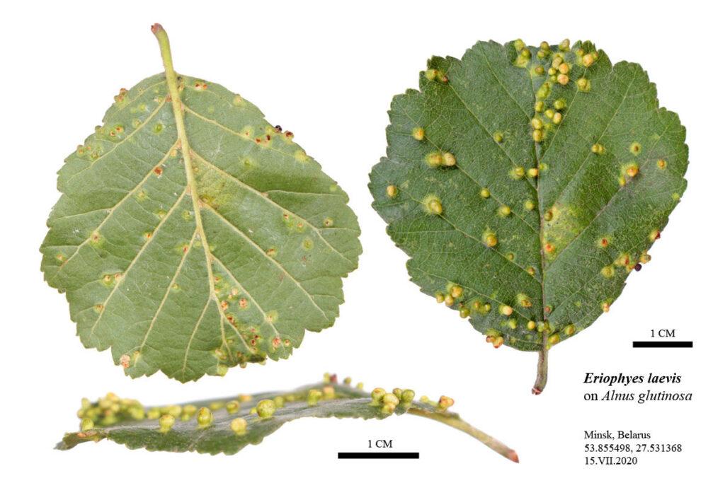 Галлы, сформированные ольховым галловым клещом (Eriophyes laevis) на листе ольхи чёрной (Alnus glutinosa)