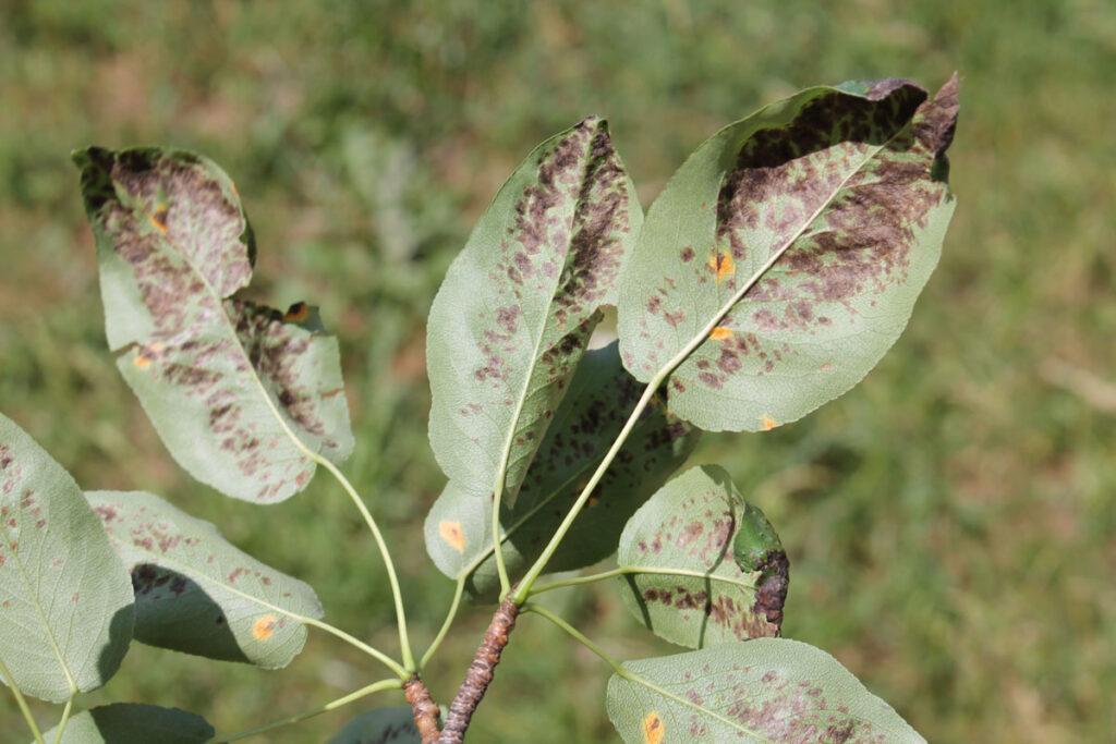 Листья груши, повреждённые грушевым галловым клещом (Eriophyes pyri)