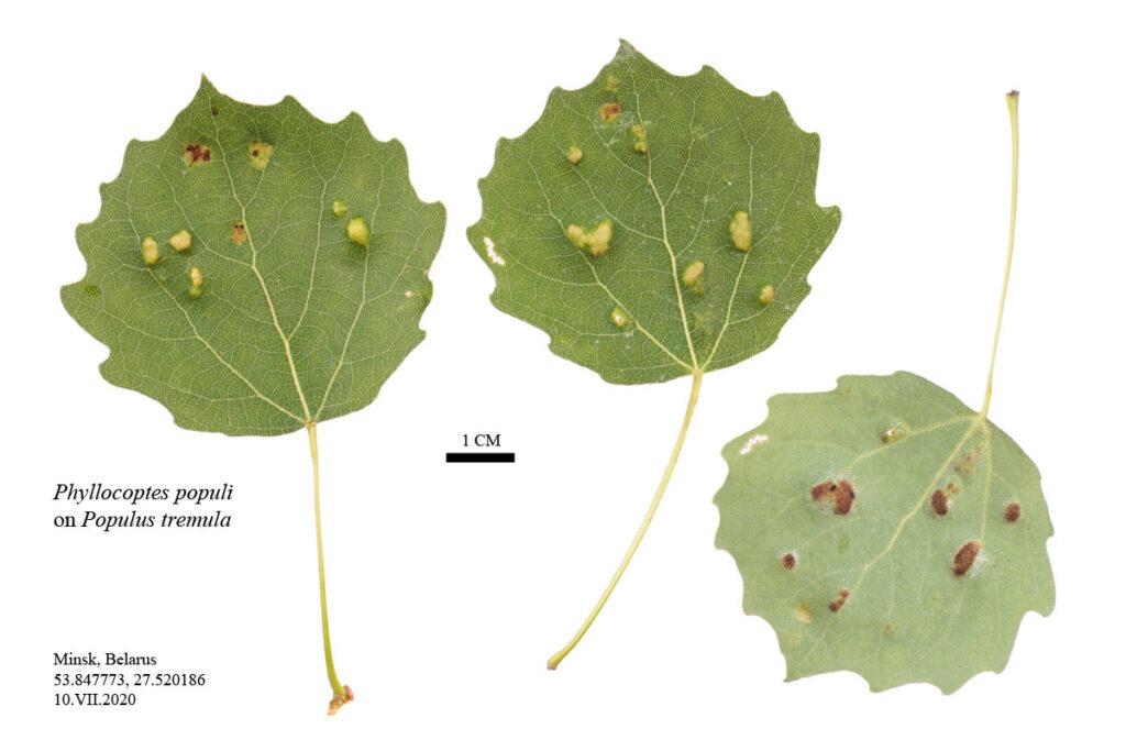 Осиновый бугорчатый клещик (Phyllocoptes populi)