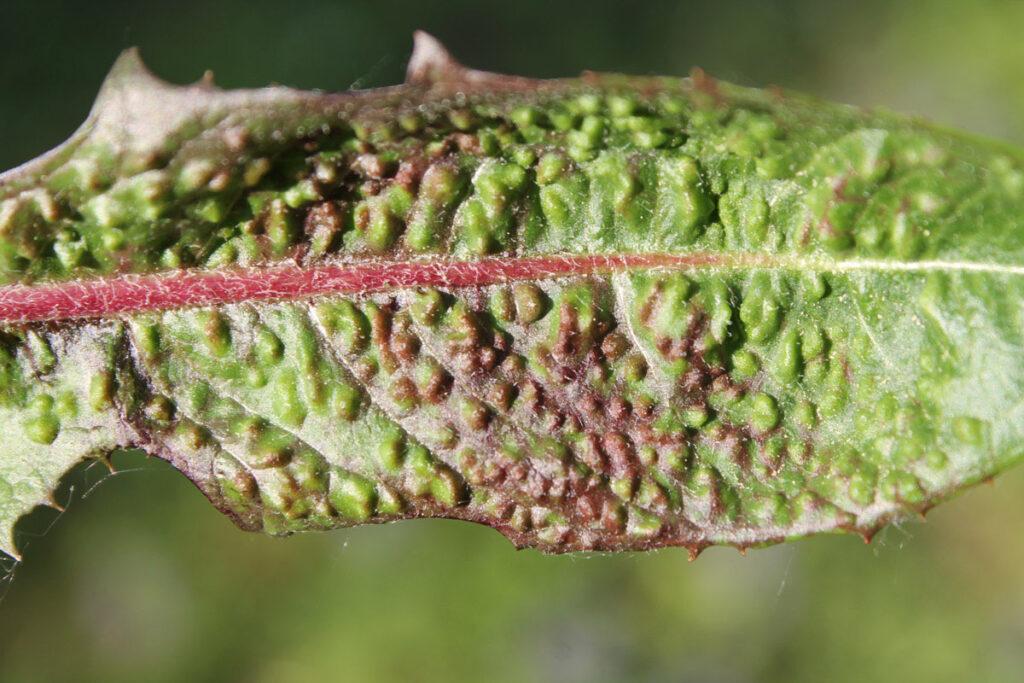 Галлы листоблошки одуванчиковой (Trioza dispar) на листе одуванчика лекарственного (Taraxacum officinale)