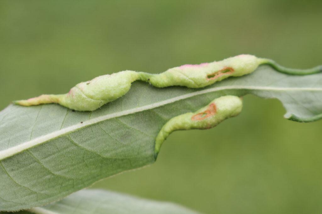 Галлы, сформированные галлицей почечуйной (Wachtliella persicariae) на листе горца земноводного (Persicaria amphibia)
