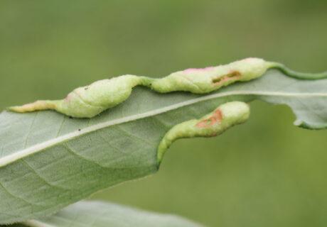 Галлица почечуйная (Wachtliella persicariae)