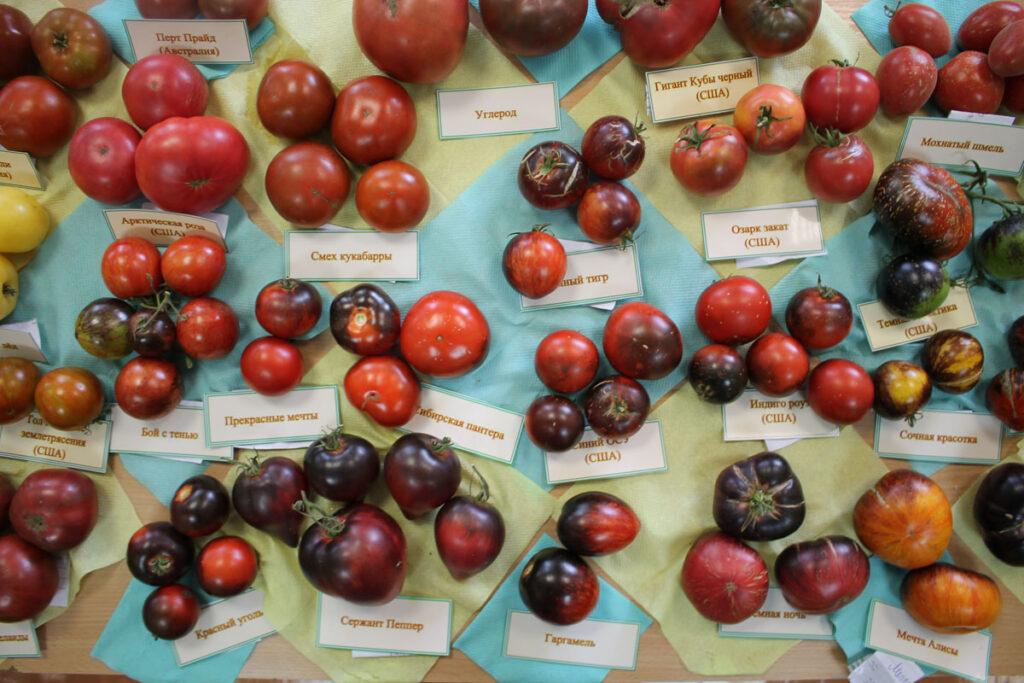Томат 'Gargamel' (Гаргамель) среди других сортов томатов