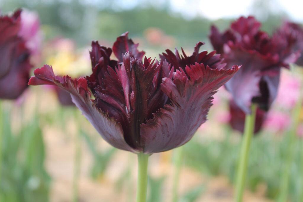 Тюльпан 'Black Parrot' ('Блэк Перрот', Tulipa 'Black Parrot')