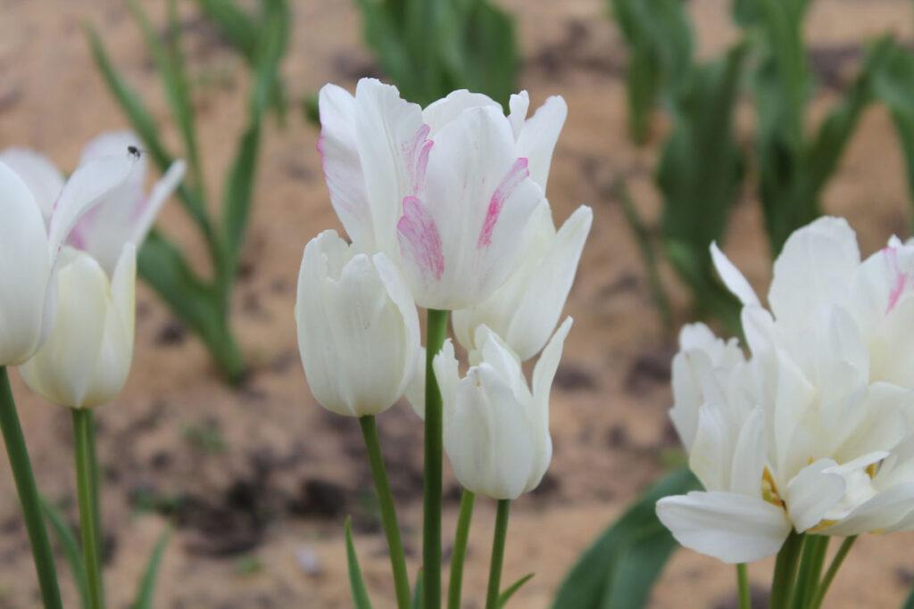 Тюльпан 'Candy Club' ('Кэнди Клаб', Tulipa 'Candy Club')