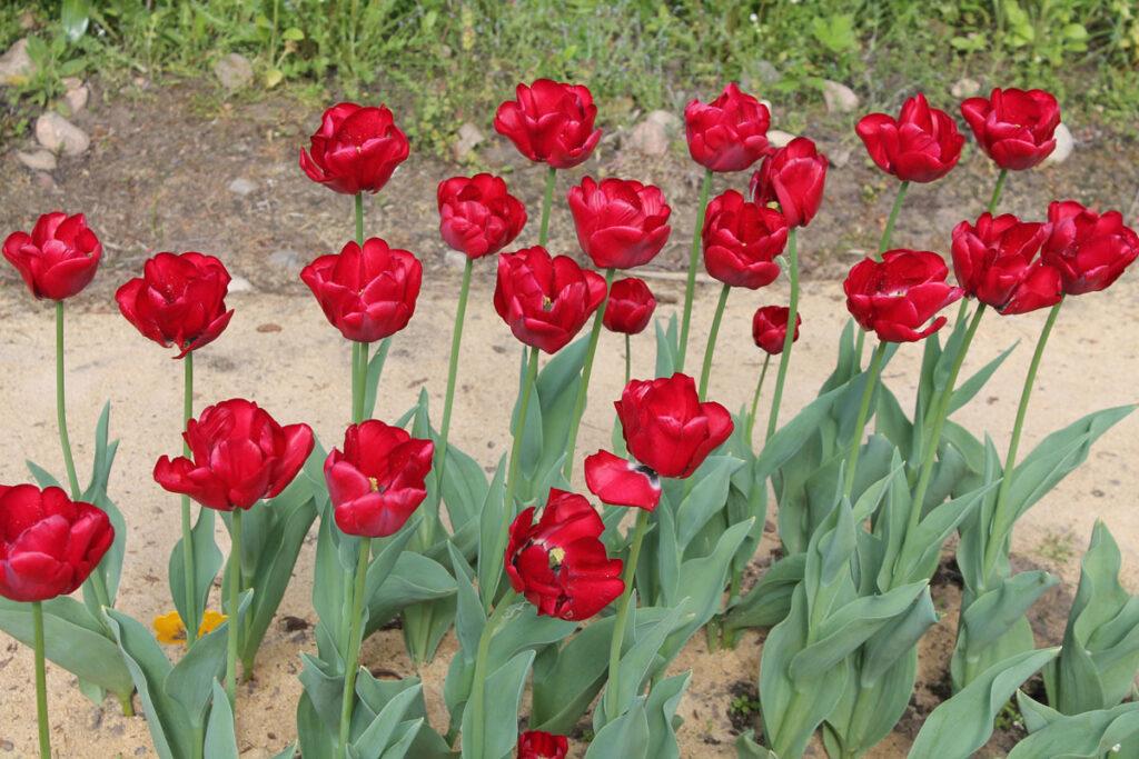 Тюльпан 'Cincinnati'