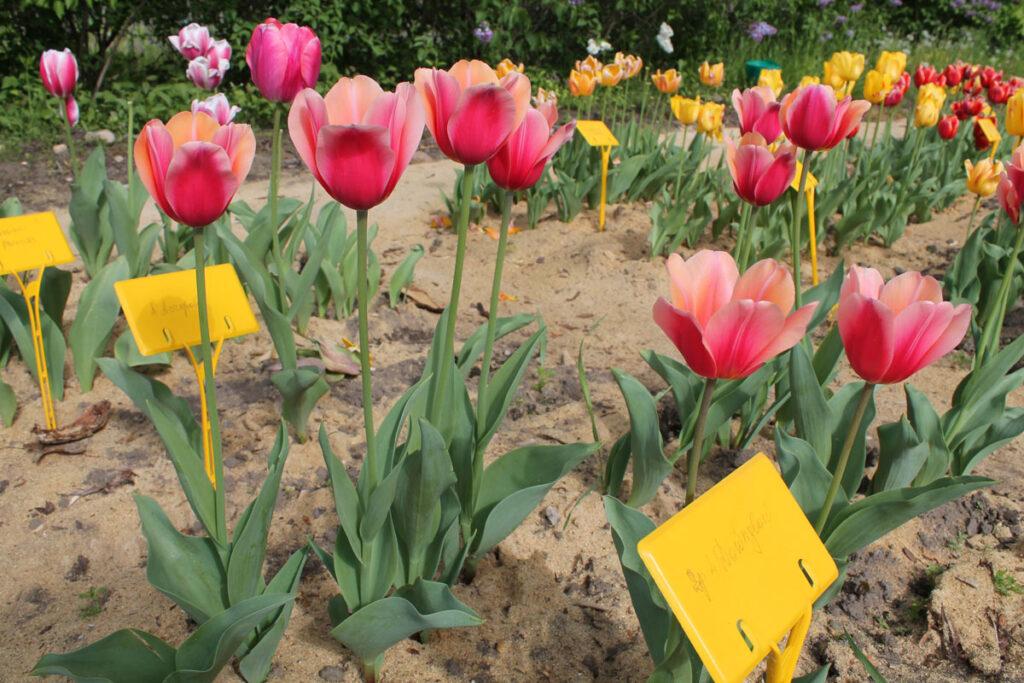 Тюльпан 'Dawnglow' ('Доунглоу', Tulipa 'Dawnglow')