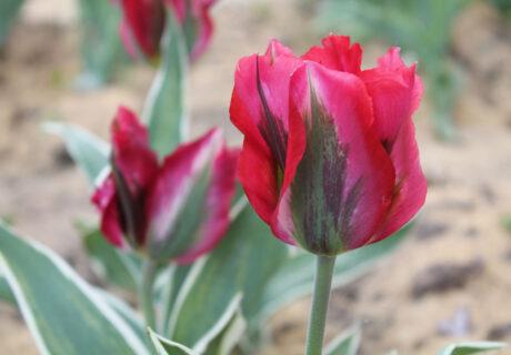 Тюльпан 'Esperanto' ('Эсперанто', Tulipa 'Esperanto')