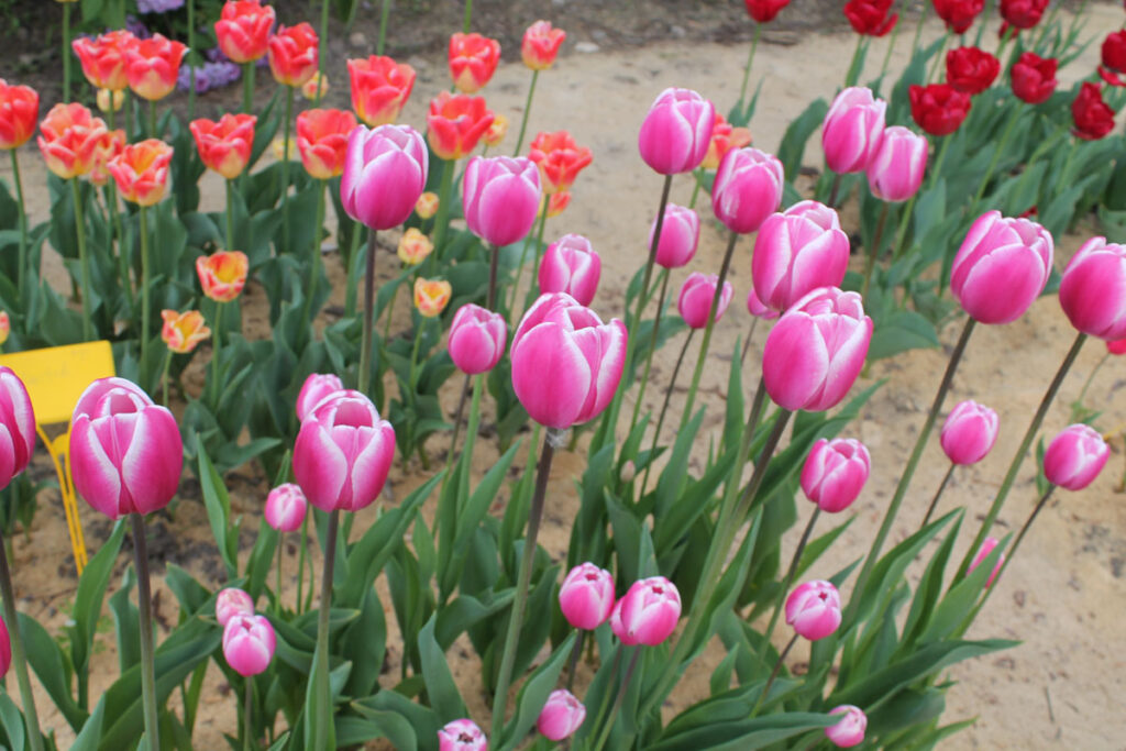 Тюльпан 'Jumbo Beauty' (Джамбо Бьюти)
