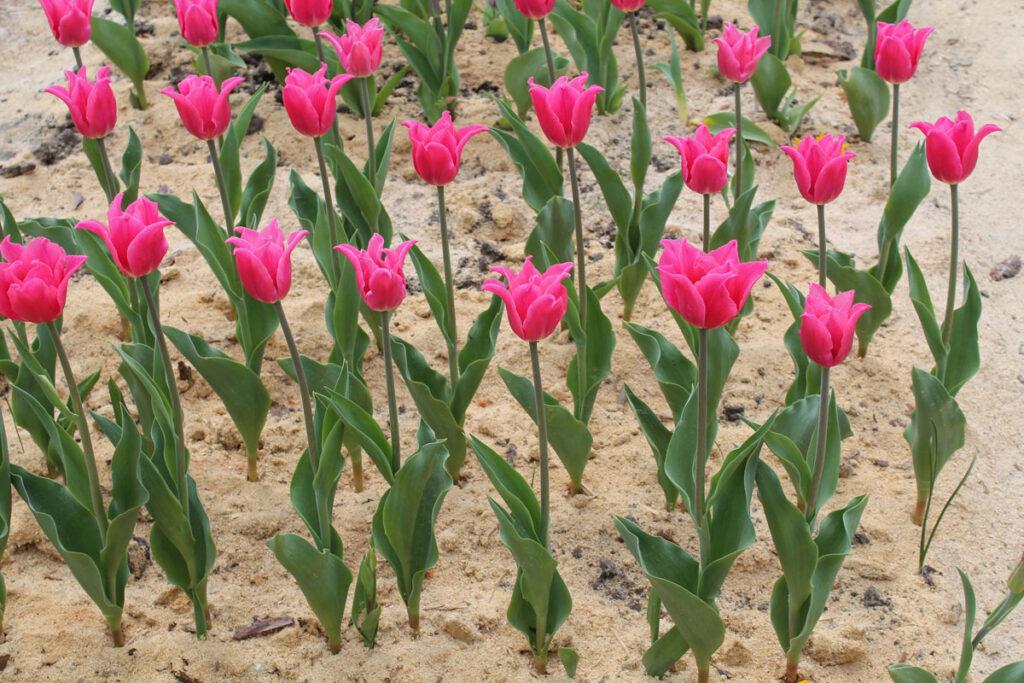 Тюльпан 'Pretty Love' ('Претти Лав', Tulipa 'Pretty Love')