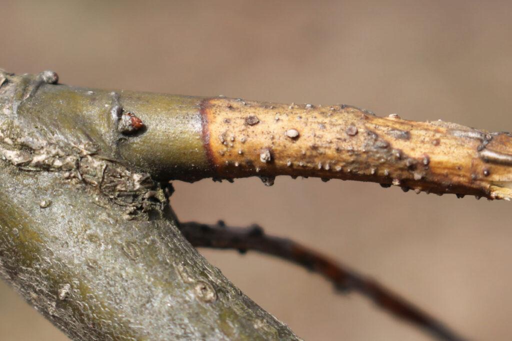 Колпомовый (клитрисовый) некроз дуба на ветвях дуба черешчатого (Quercus robur)
