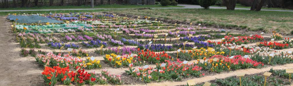 Коллекции гиацинтов и тюльпанов (сорта из класса тюльпана Кауфмана) Центрального ботанического сада НАН Беларуси