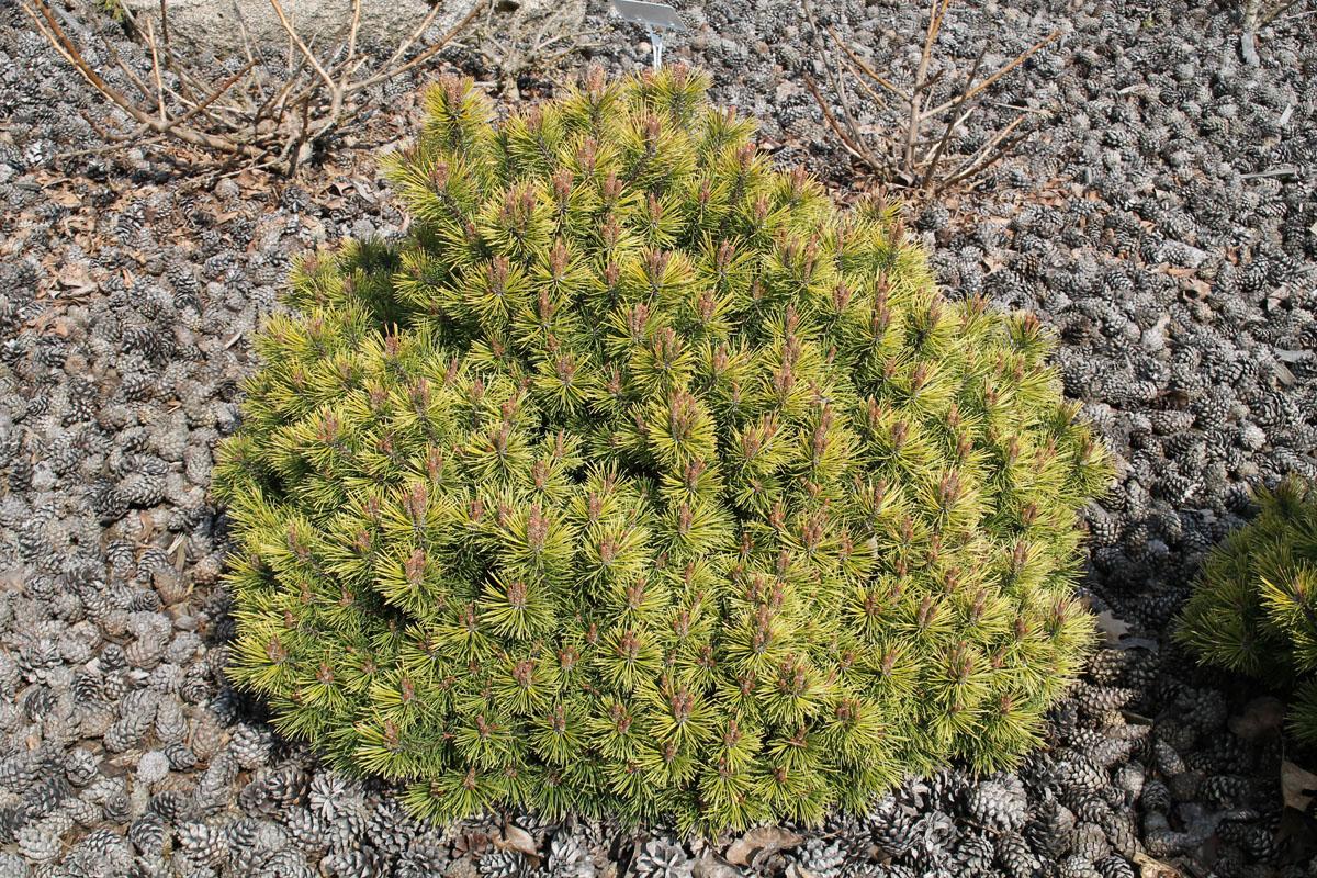 Сосна горная 'Ophir' (Офир, Pinus mugo 'Ophir')