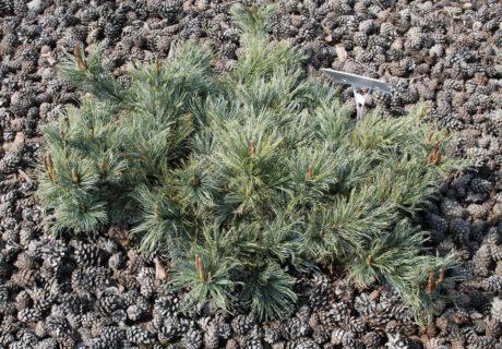 Кедровый стланик 'Jeddeloh' (Pinus pumila 'Jeddeloh')