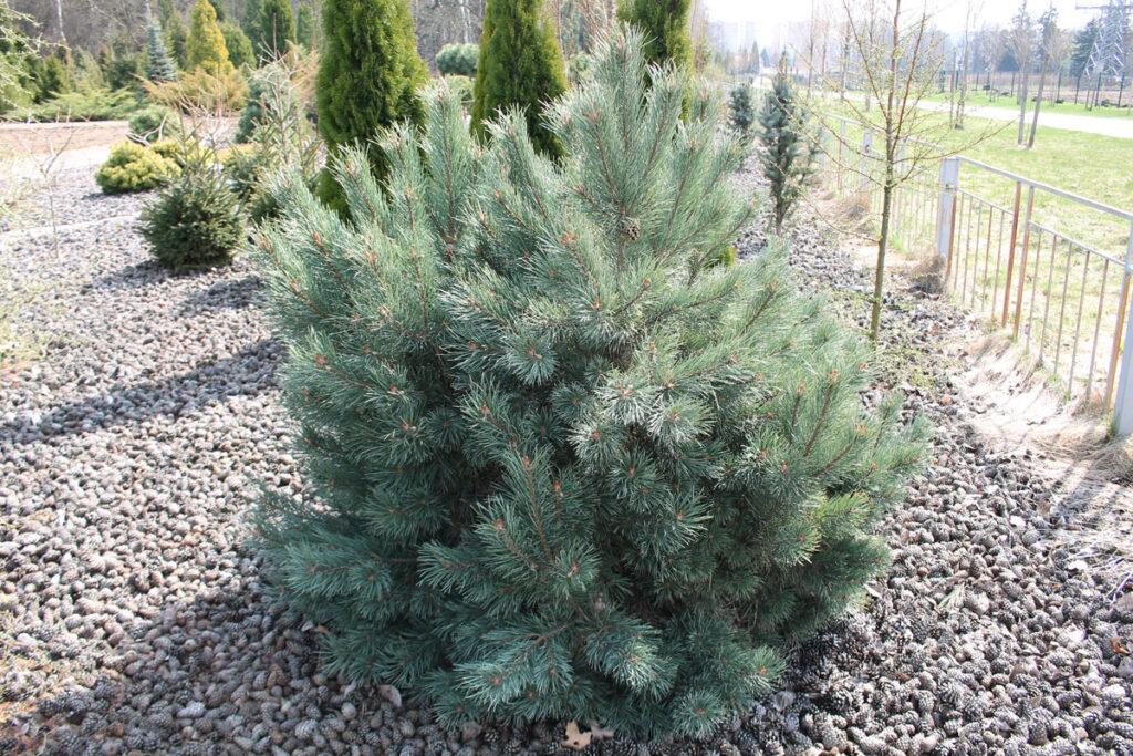 Сосна обыкновенная 'Watereri' (Pinus sylvestris 'Watereri')