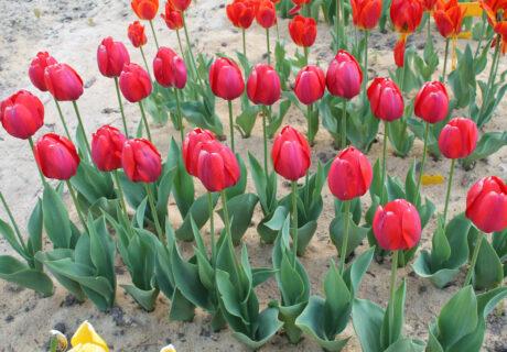 Тюльпан 'Broz Tito'