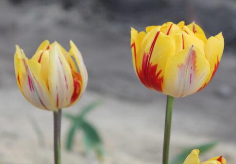 Тюльпан 'Golden Nizza' (Голден Ницца)
