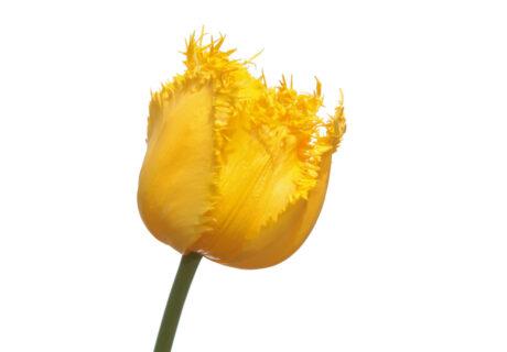 Тюльпан 'Hamilton' (Гамильтон)