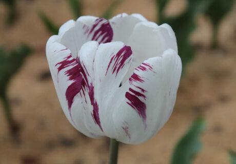 Тюльпан 'Shirley' (Ширли)