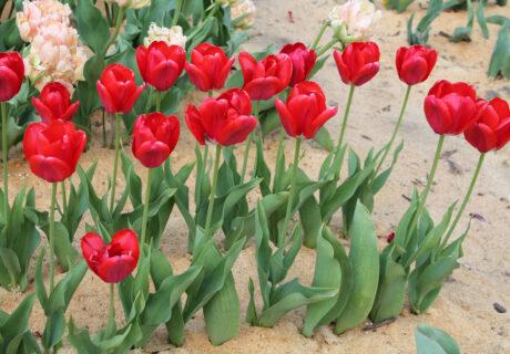 Тюльпан 'Spring Song' (Спринг Сонг)