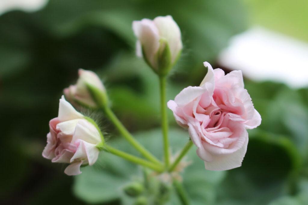 Пеларгония 'Rococo' (Рококо)