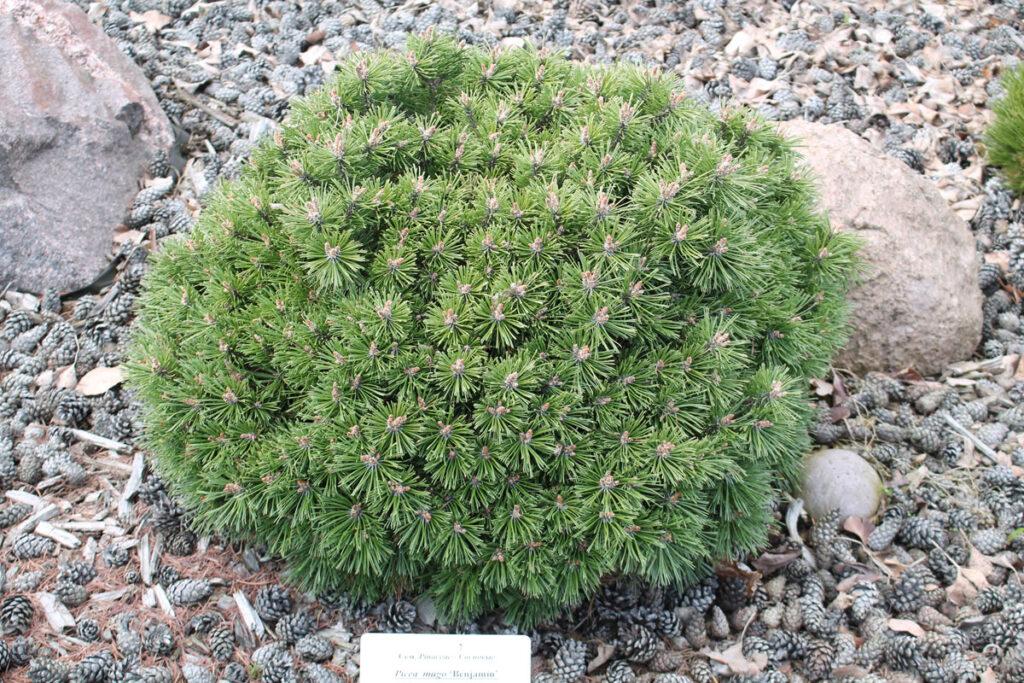 Сосна горная 'Benjamin' (Pinus mugo 'Benjamin', 'Бенджамин')