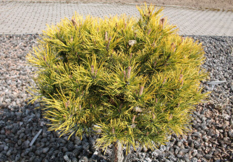 Сосна горная 'Carstens' (Pinus mugo 'Carstens', 'Carsten's Wintergold', 'Карстенс Винтерголд')