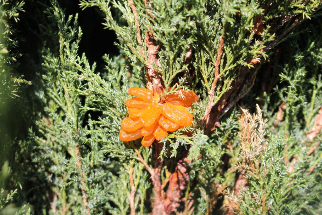Ржавчина можжевельника, вызванная Gymnosporangium sabinae на можжевельнике казацком (Juniperus sabina)