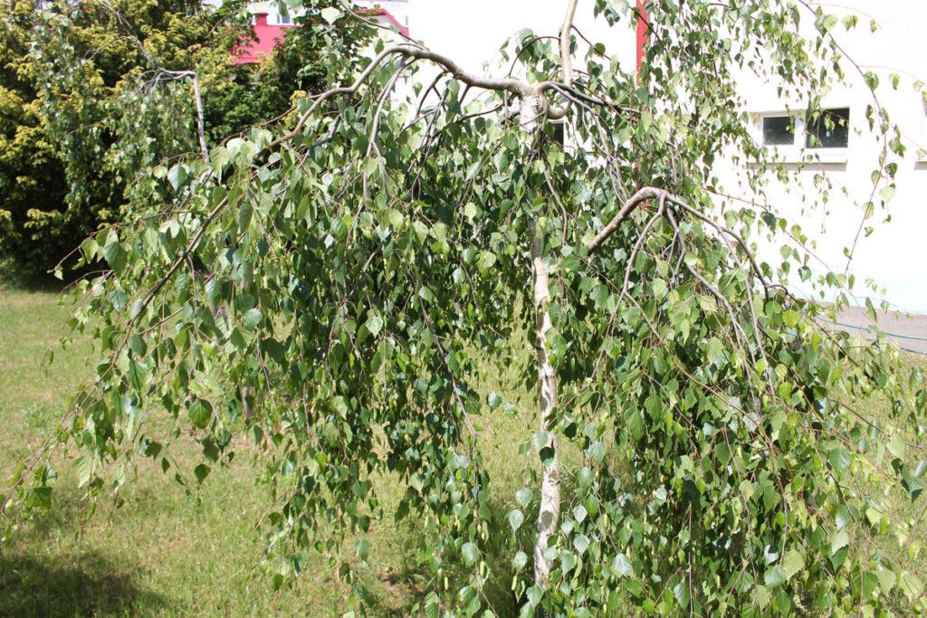 Берёза Юнги (Betula pendula 'Youngii')