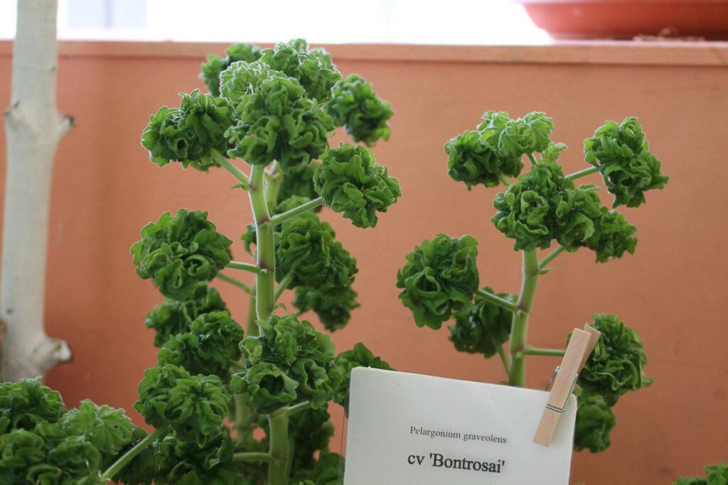 Пеларгония 'Bontrosai' (Pelargonium graveolens 'Bontrosai')