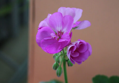 Пеларгония 'PAC Blue Wonder' (Pelargonium zonale 'PAC Blue Wonder')