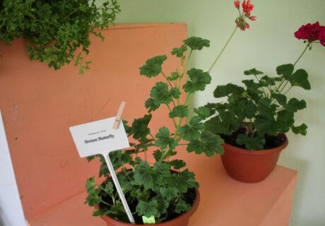 Пеларгония 'Bronze Butterfly' (Pelargonium 'Bronze Butterfly')